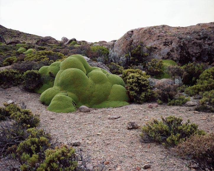 Rachel Sussman »La Llareta #0308-23B26 (Up to 3,000 years old; Atacama Desert, Chile)«, 2008